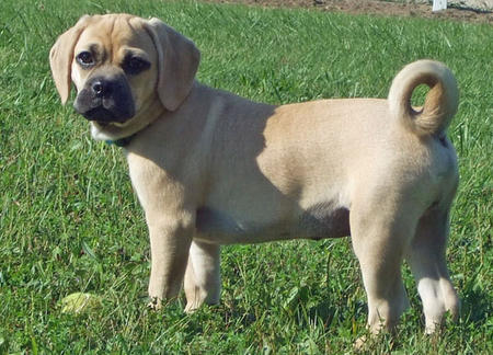Conner the Puggle Pictures 652553