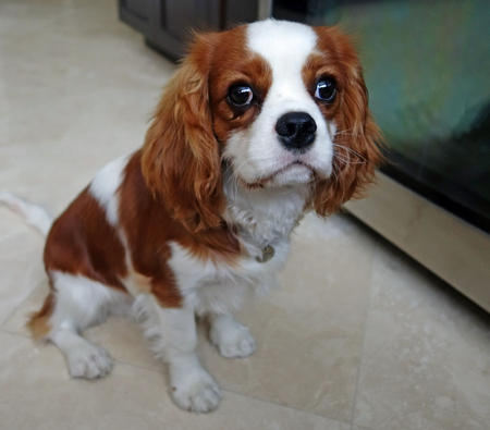 Cookie Ball the Cavalier King Charles Spaniel Pictures 1016795