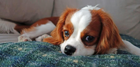 Cookie Ball the Cavalier King Charles Spaniel Pictures 1016796