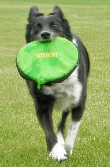 Cookie the Border Collie Mix Pictures 804699