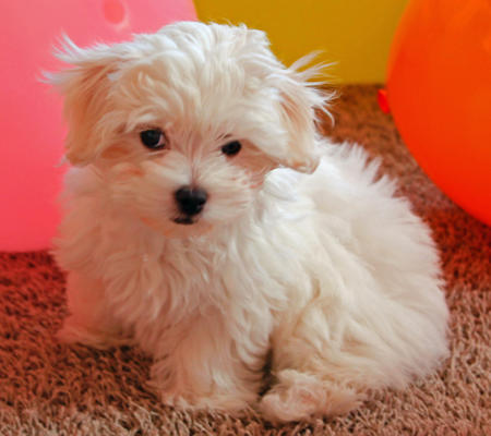 Cookie the Maltese Pictures 979565