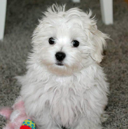 Cookie the Maltese Pictures 979567