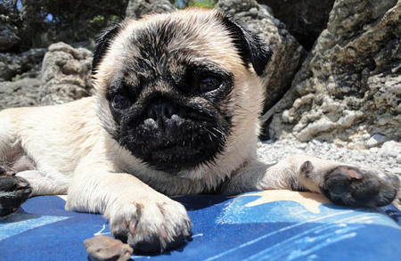 Cookie the Pug Pictures 1057325