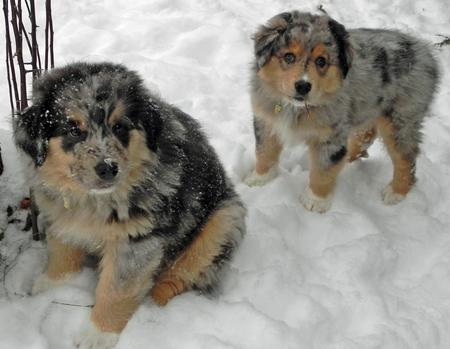 Cooper and Rocky the Australian Shepherds Pictures 710498
