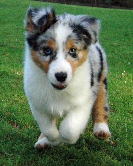 Cooper the Australian Shepherd Pictures 696380