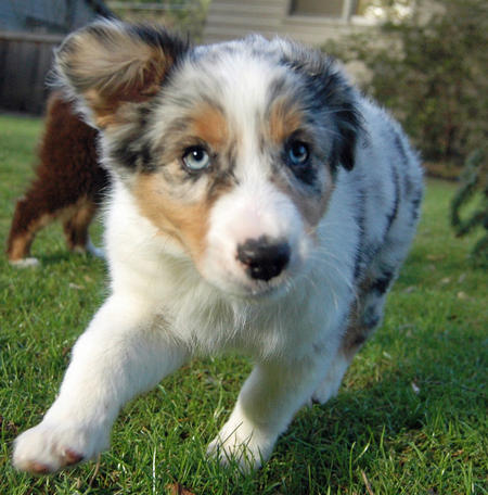 Cooper the Australian Shepherd Pictures 696381