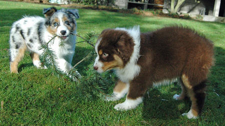 Cooper the Australian Shepherd Pictures 696382