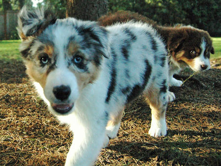 Cooper the Australian Shepherd Pictures 696384
