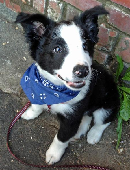 Cooper the Border Collie Pictures 976446