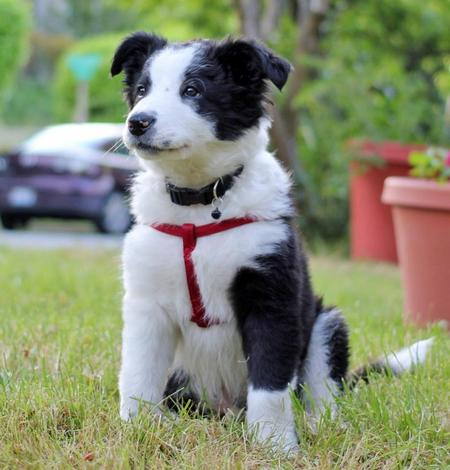 Cooper the Border Collie Pictures 976447