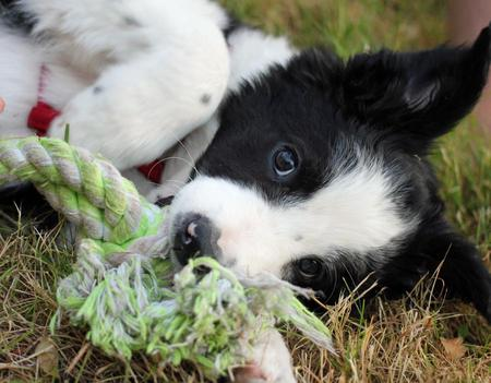 Cooper the Border Collie Pictures 976448