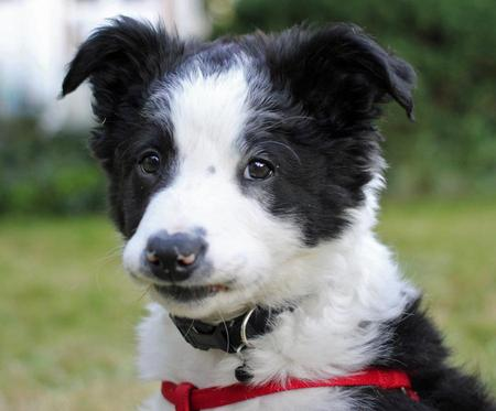 Cooper the Border Collie Pictures 976449