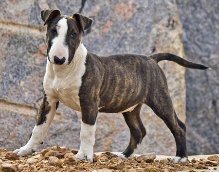Cooper the Bull Terrier Pictures 986182