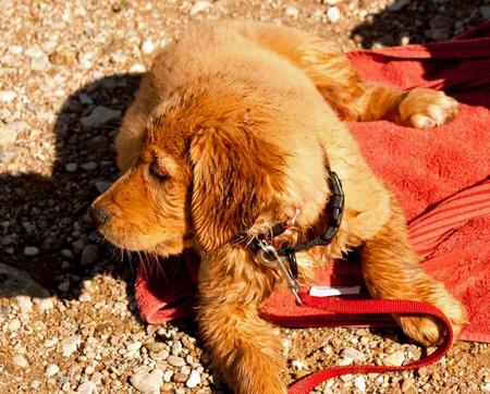 Cooper the Golden Retriever Pictures 960579