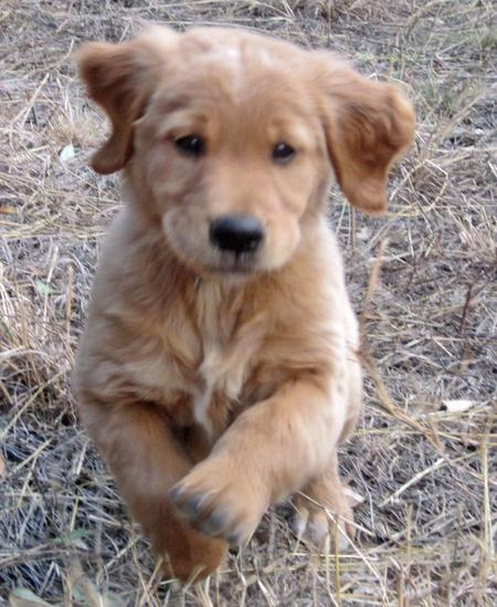 Cooper the Golden Retriever Pictures 599468