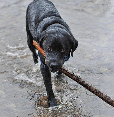 Cooper the Labrador Retriever Pictures 534280