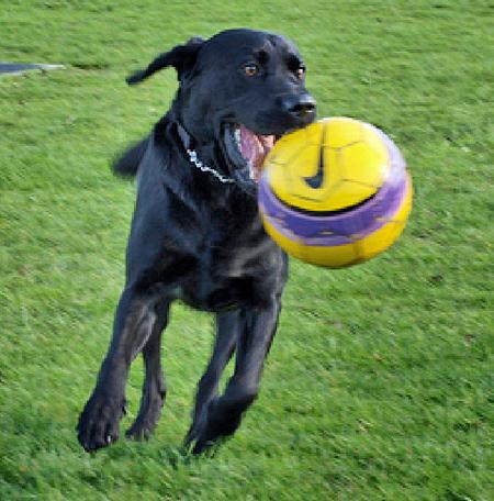 Cooper the Labrador Retriever Pictures 534282