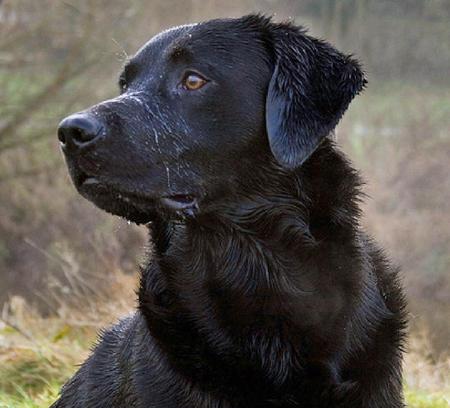 Cooper the Labrador Retriever Pictures 534283