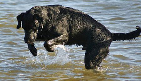 Cooper the Labrador Retriever Pictures 534284