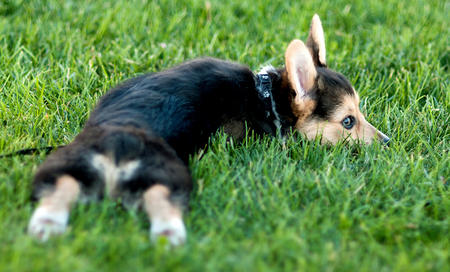 Cooper the Pembroke Welsh Corgi Pictures 727863