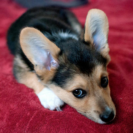 Cooper the Pembroke Welsh Corgi Pictures 727864