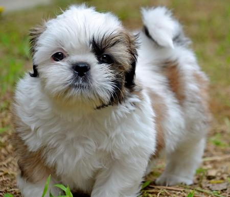 Cooper the Shih Tzu Pictures 923804