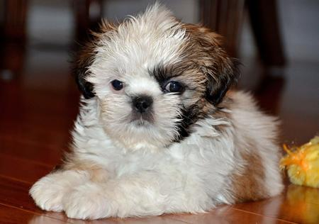 Cooper the Shih Tzu Pictures 923805