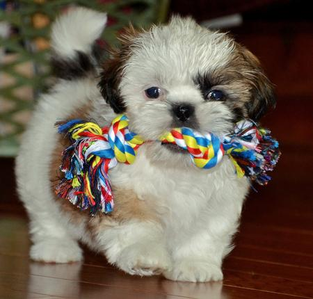 Cooper the Shih Tzu Pictures 923801