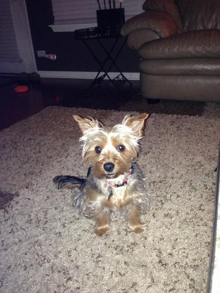Cooper the Yorkie Mix Pictures 969717