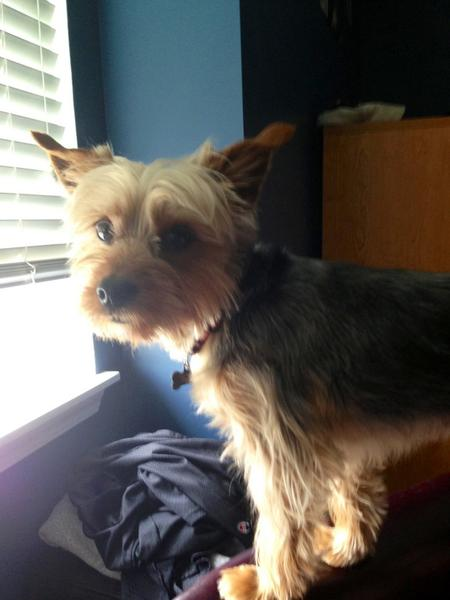 Cooper the Yorkie Mix Pictures 976798