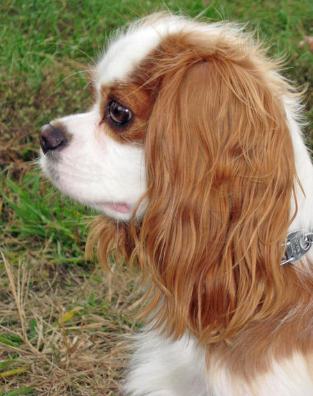 Copernicus the Cavalier King Charles Spaniel Pictures 638171
