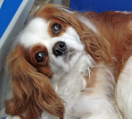 Copernicus the Cavalier King Charles Spaniel Pictures 638168