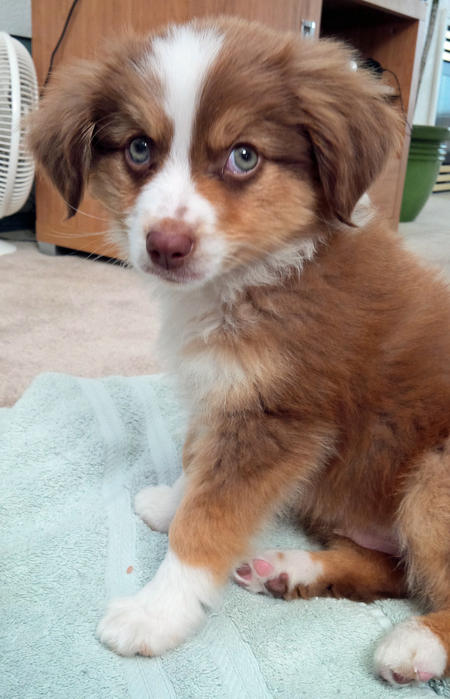 Copper the Australian Shepherd Pictures 1018081