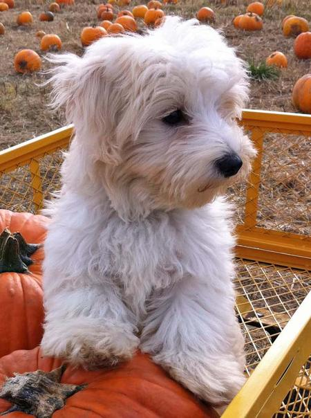 King Shepherd Puppies Cosmo the Maltese Mix ...