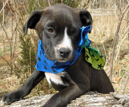 Cowboy the Adoptable Labrador Mix Pictures 750094