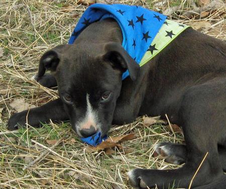 Cowboy the Adoptable Labrador Mix Pictures 750096