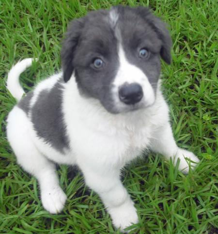 Cream the Border Collie Mix Pictures 855762