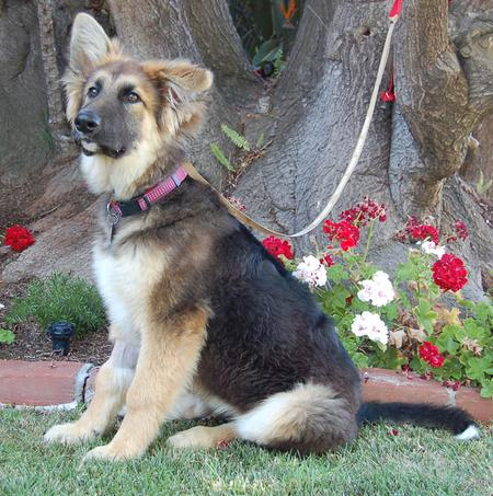 Cricket the Adoptable German Shepherd Pictures 791409