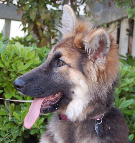 Cricket the Adoptable German Shepherd Pictures 791411