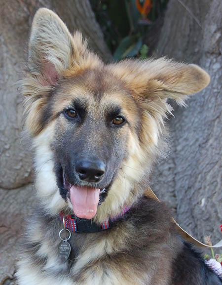 Cricket the Adoptable German Shepherd Pictures 791413