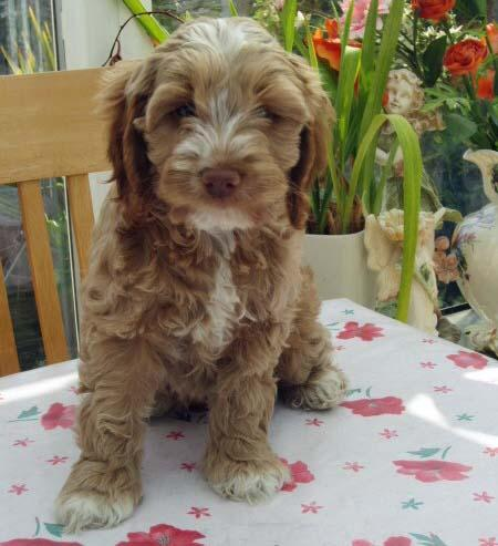 Crumble the Cockapoo Pictures 1014582
