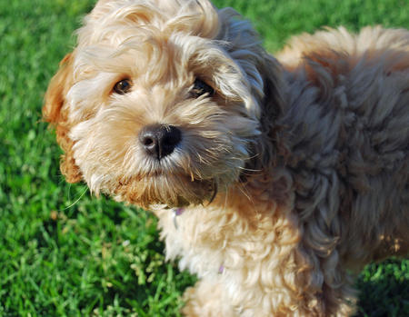 Crumpet the Poodle Mix Pictures 732088