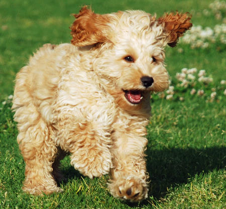 Crumpet the Poodle Mix Pictures 732090