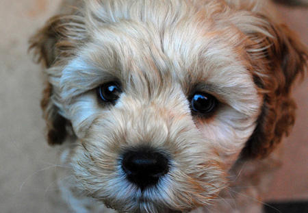 Crumpet the Poodle Mix Pictures 732083