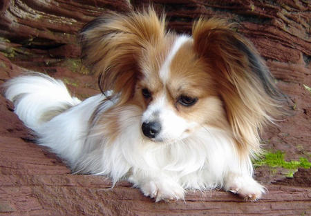 Crystal the Papillon Pictures 578841
