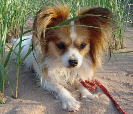Crystal the Papillon Pictures 578842