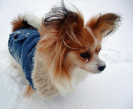 Crystal the Papillon Pictures 578845