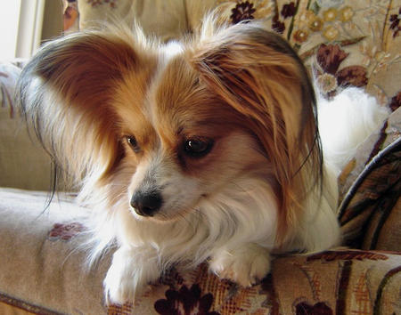 Crystal the Papillon Pictures 578840