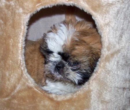 Daffy the Shih Tzu Pictures 595395