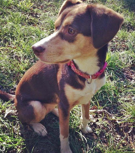 Daisy the Australian Shepherd Mix Pictures 981886